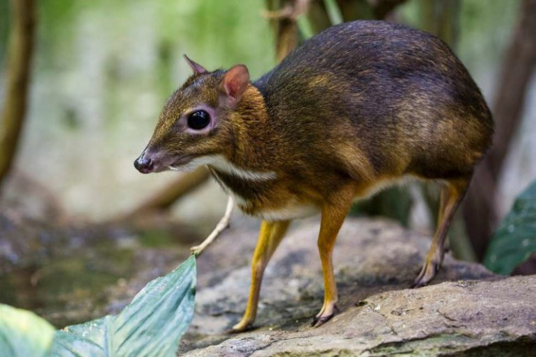 Peļu briedis (Chevrotain)